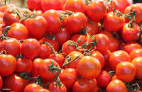 Fresh Organic Tomatoes / Farm Fresh Crown Small Yellow Tomato /Fresh Red Farm Harvested Tomatoes