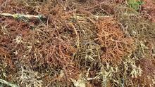 Sabah Malaysia Organic Natural Seaweed