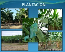 Farm producing green plantain for Sale
