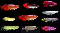 We Supply Quality Arowana Fishes of All Breed and Sizes