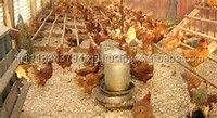 Wheat bran for Chicken feed